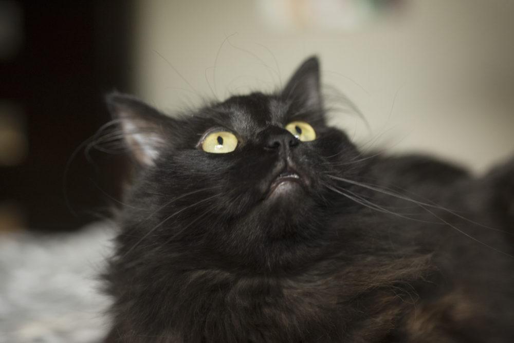 cat-portrait-little-rock