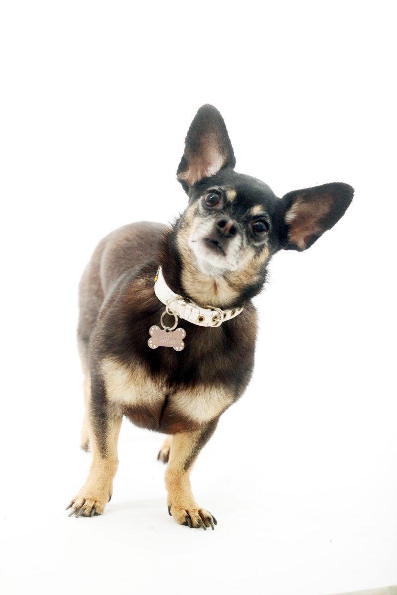 dog-portrait-chihuahua