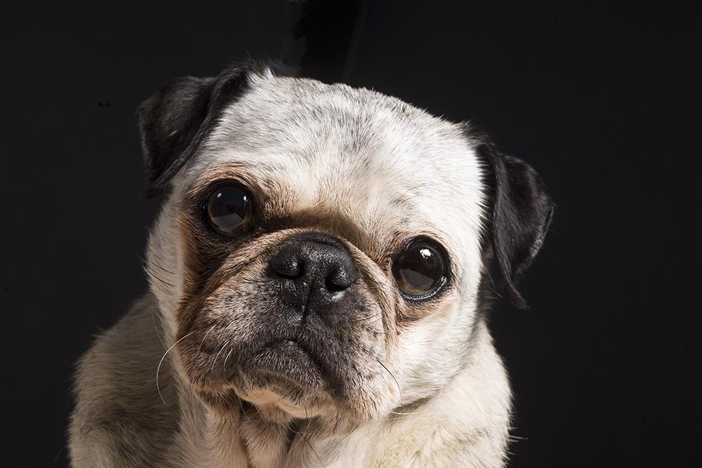Ruby-pug-portraits-little-rock