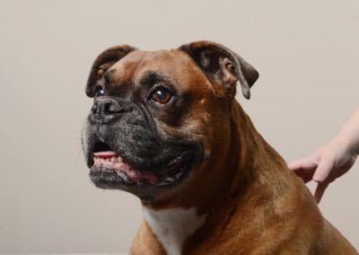 boxer-studio-portrait