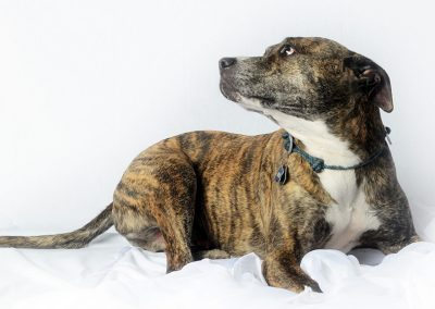 Brindle and White dog studio portrait