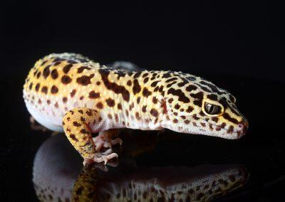 Leopard gecko studio portrait